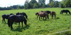 Žemaitukai, stambinti žemaitukai, Lietuvos sunkieji ir trakėnų veislės arkliai