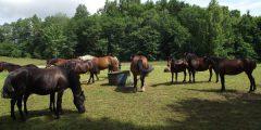 Skelbiamas viešas arklių aukcionas