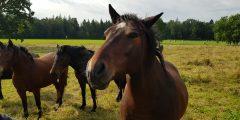 Žemaitukai ir kitos arklių veislės